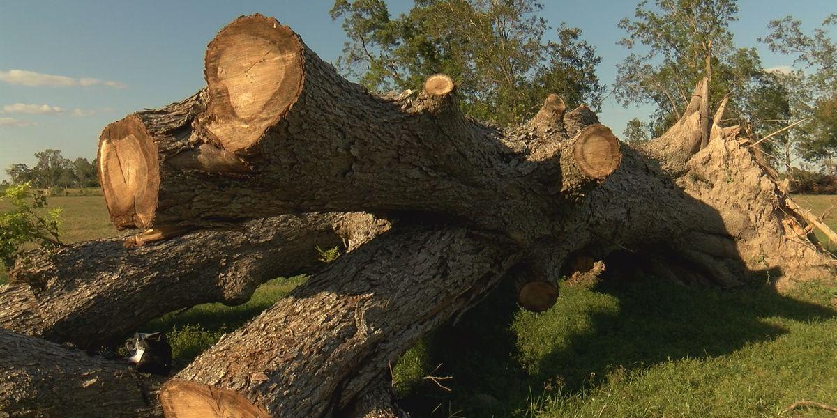 Former champion pecan tree fell in Hurricane Laura