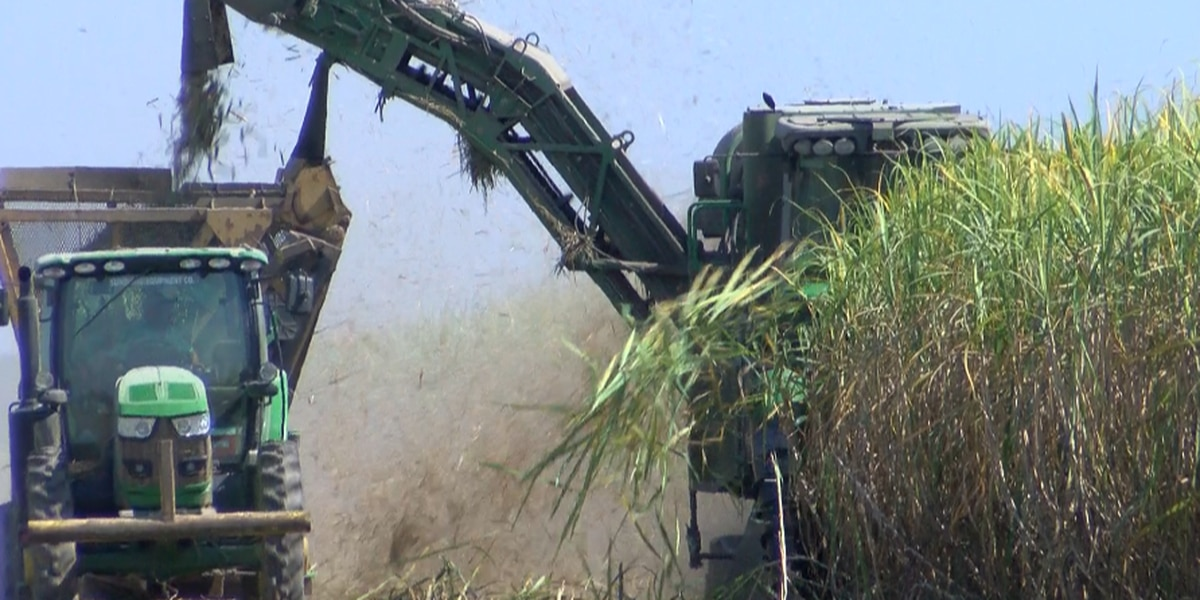 Louisiana's sugarcane harvest better than expected