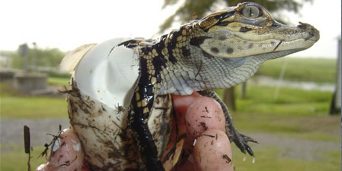 Men cited for illegal possession of alligator eggs