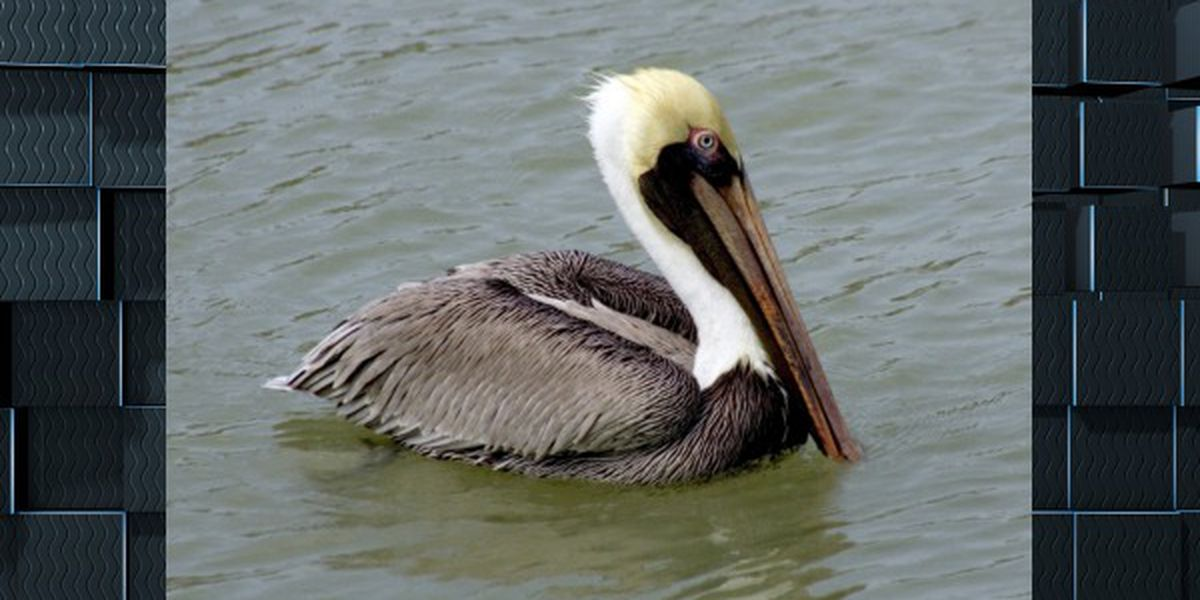Sediment pipeline and boom set up to restore brown pelican nesting colony in Calcasieu Ship Channel