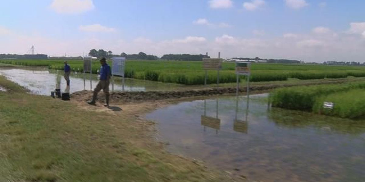 Biggest rice crop in four years expected in SWLA