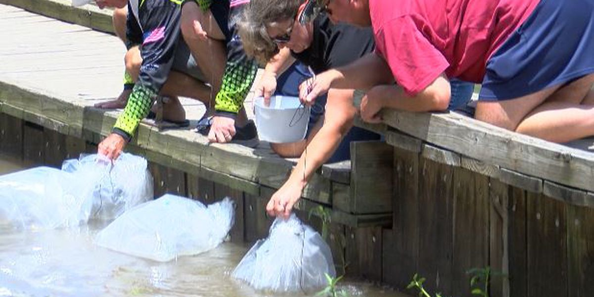 Florida bass released into the Mermentau River as part of restocking program
