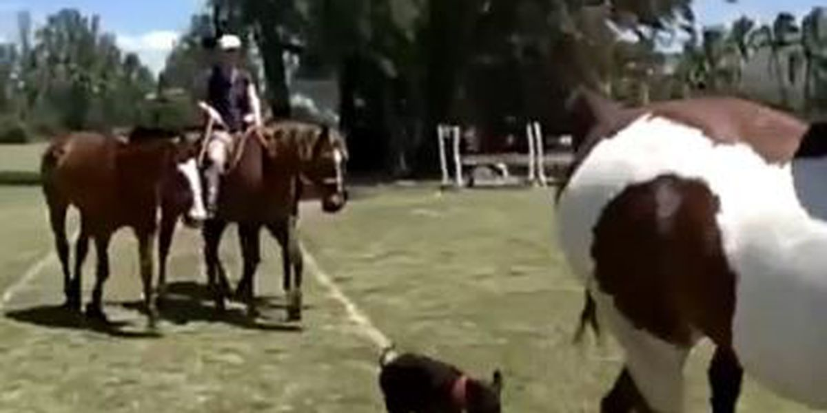 Pig thinks it's a horse!