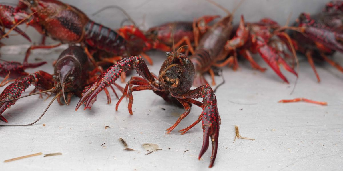 High Mississippi River brings unexpected crawfish population explosion