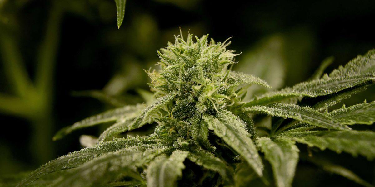 Marijuana Er Visits Climb In Denver Hospital Study