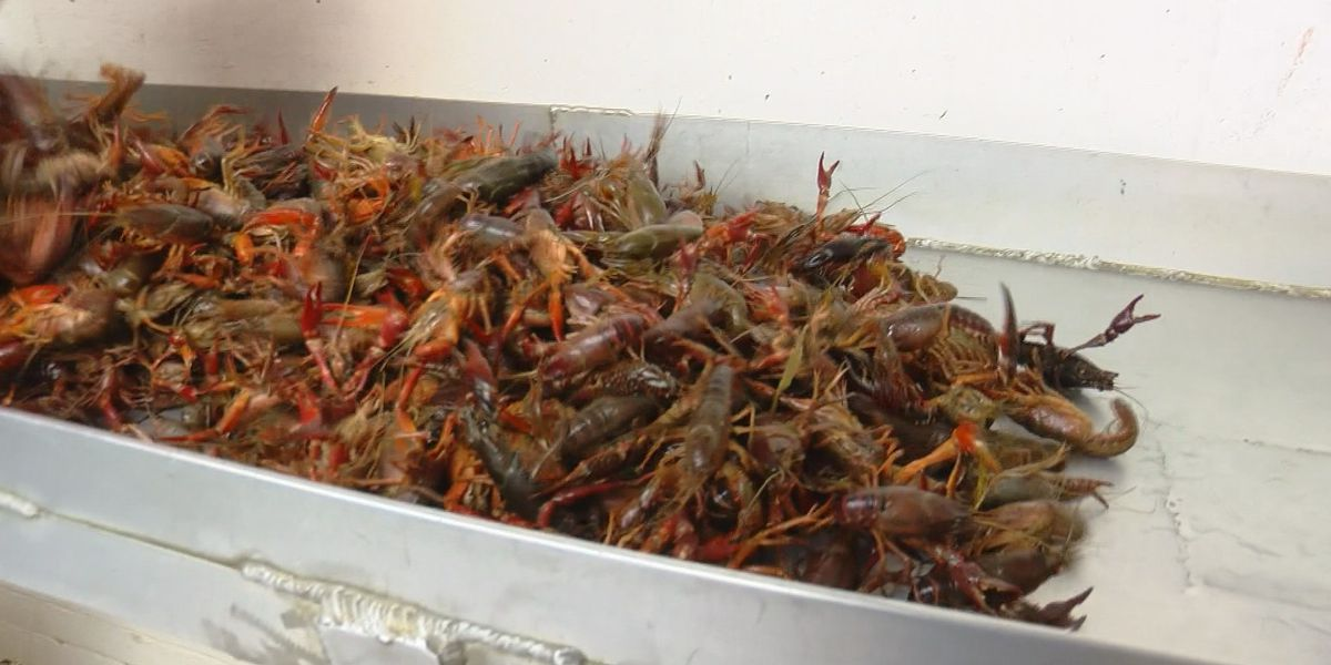 Weather to blame for crawfish price increase