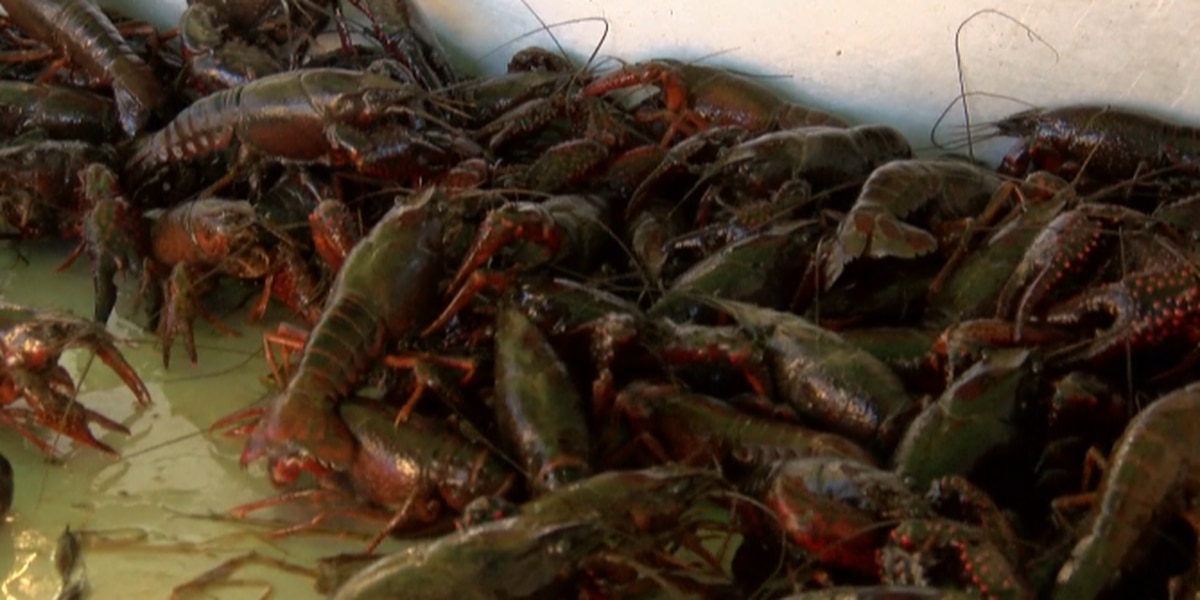 Crawfish theft from farmers has one farmer speaking out