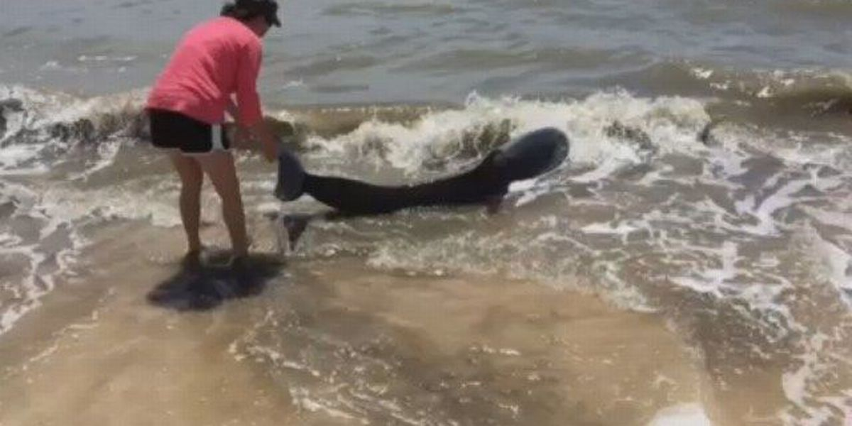 WATCH: Iowa woman jumps right in to save beached dolphin