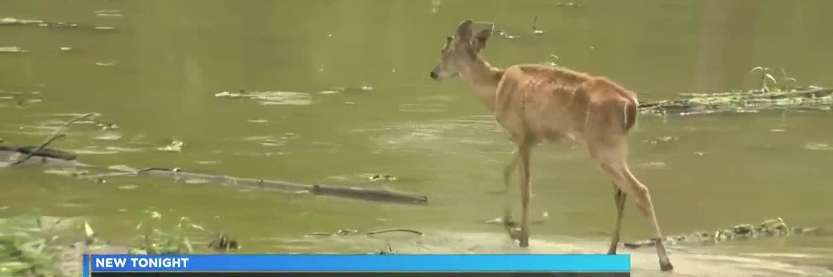 Louisiana Department of Wildlife and Fisheries partners with LSU to test deer for CWD