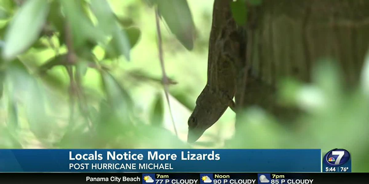 Northwest Florida's local lizard takeover: Thank you, Hurricane Michael