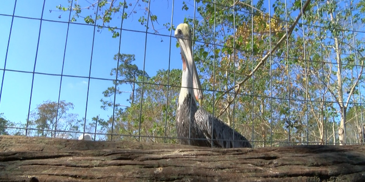 Heck Haven needs fish to feed pelicans