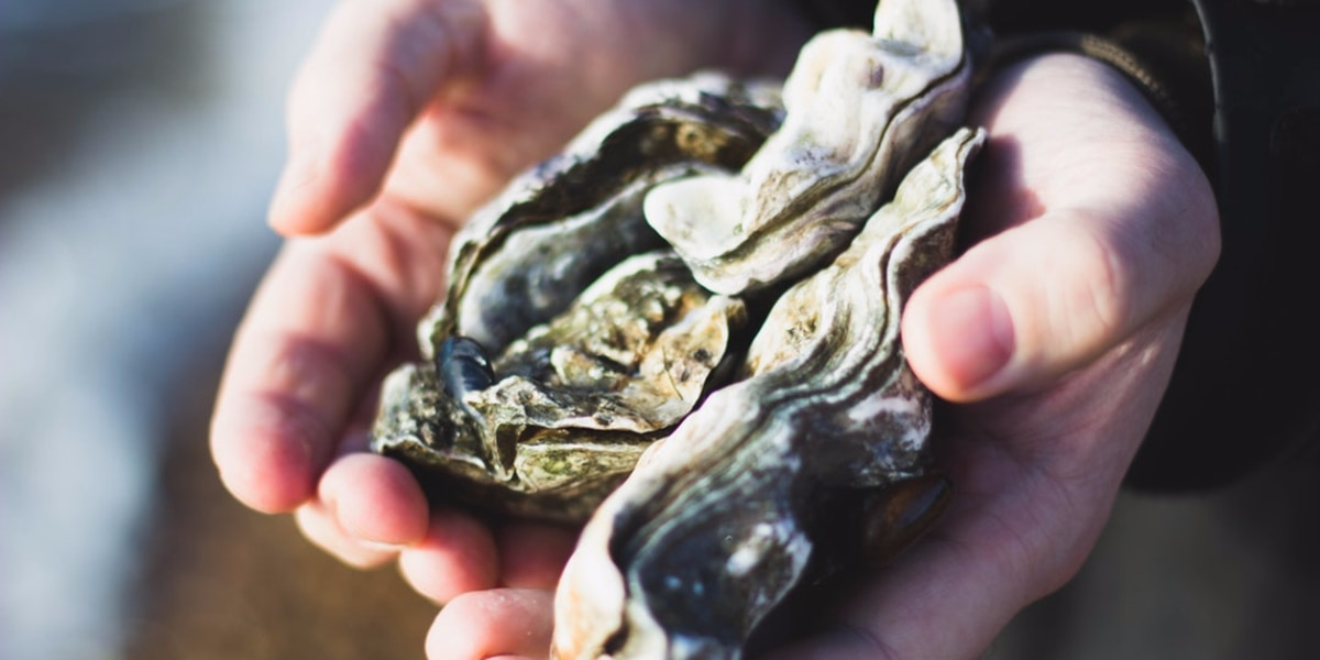 Wildlife and Fisheries to build new oyster reef