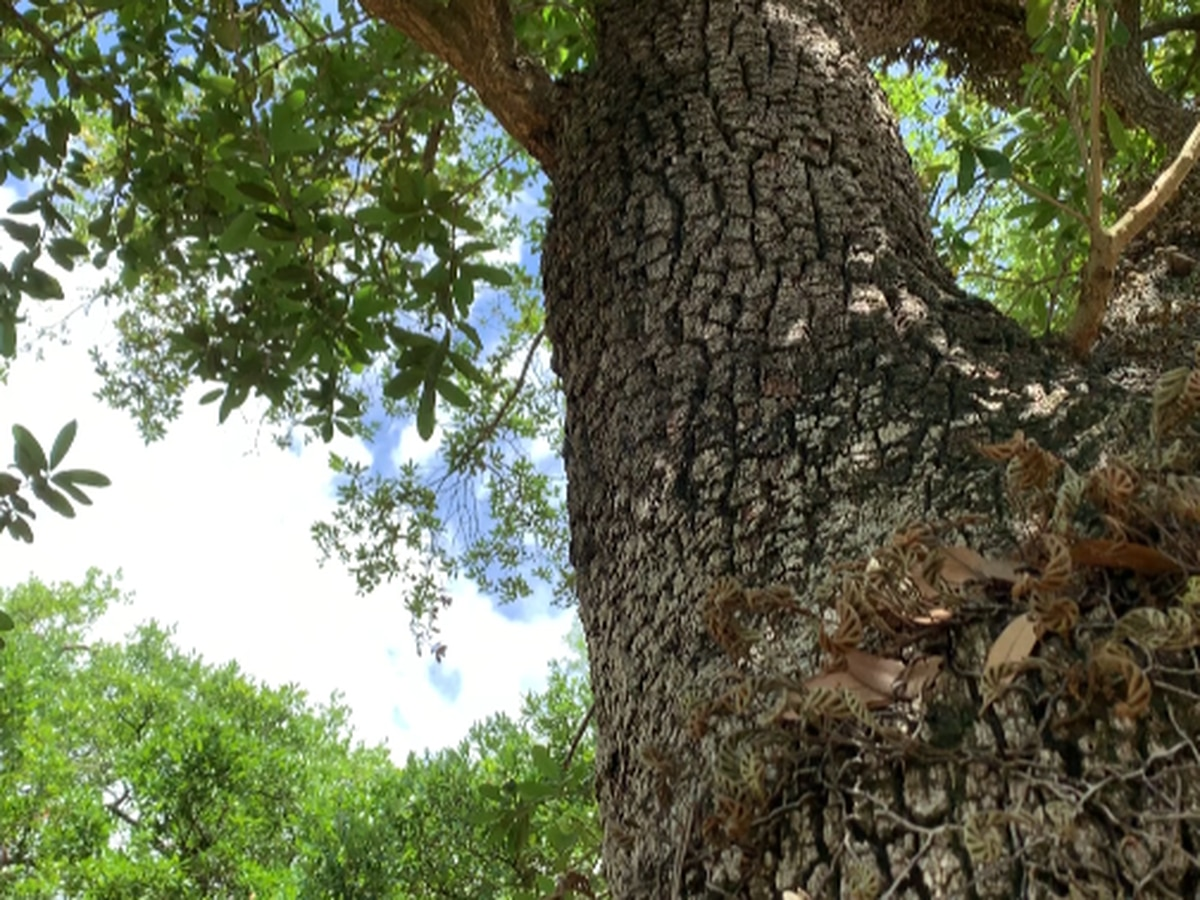 Oak trees in Lake Charles now protected by endowment