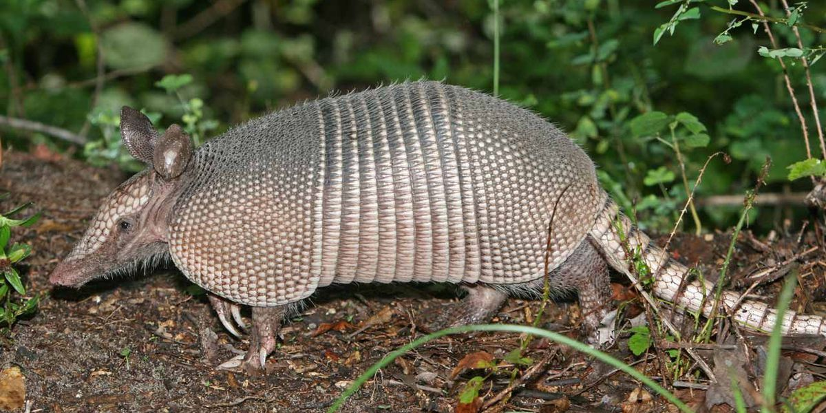 Man shoots at armadillo, shoots mother-in-law in the back