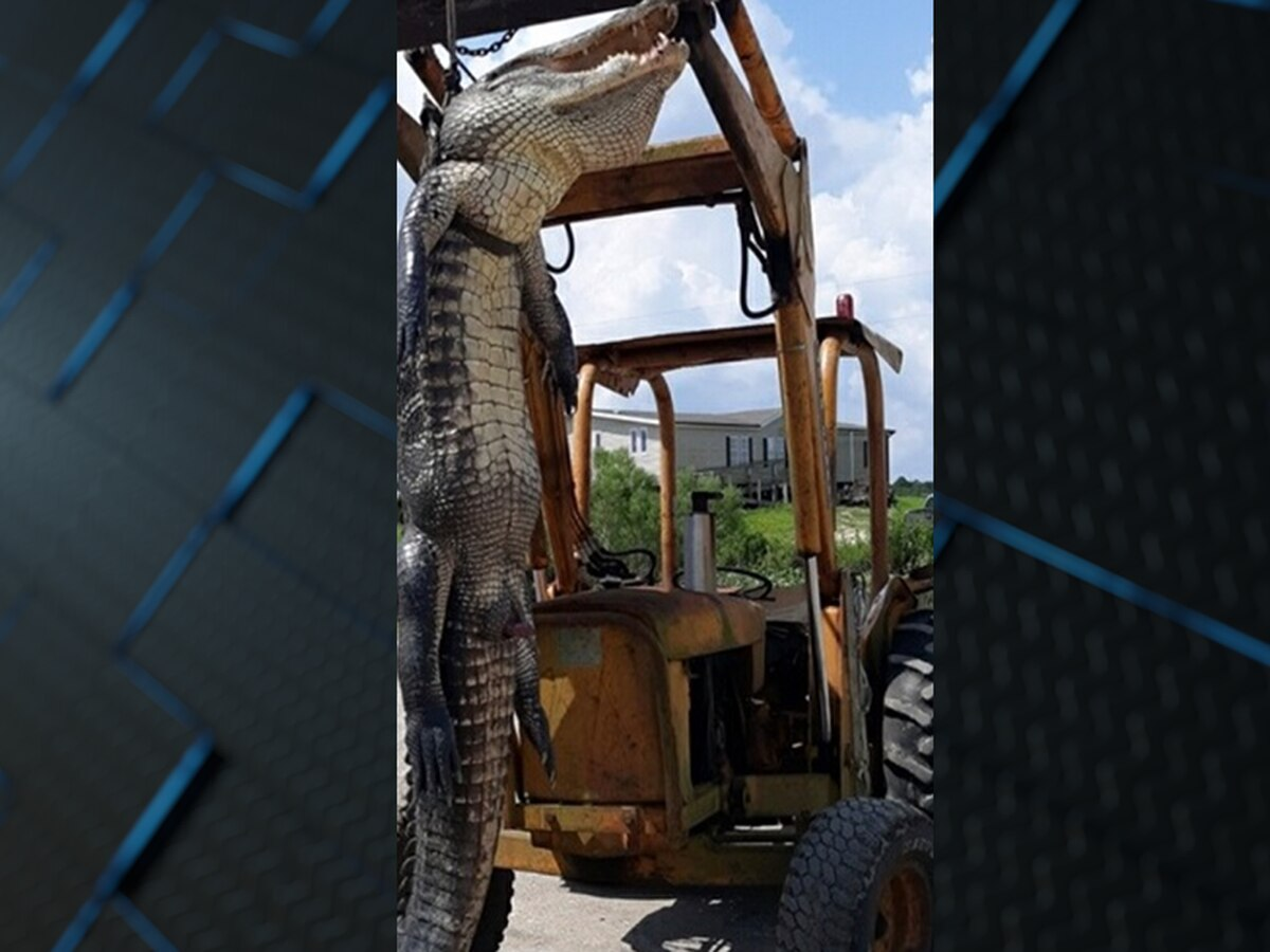Massive 12-foot alligator seized in Louisiana, two men cited for hunting violations
