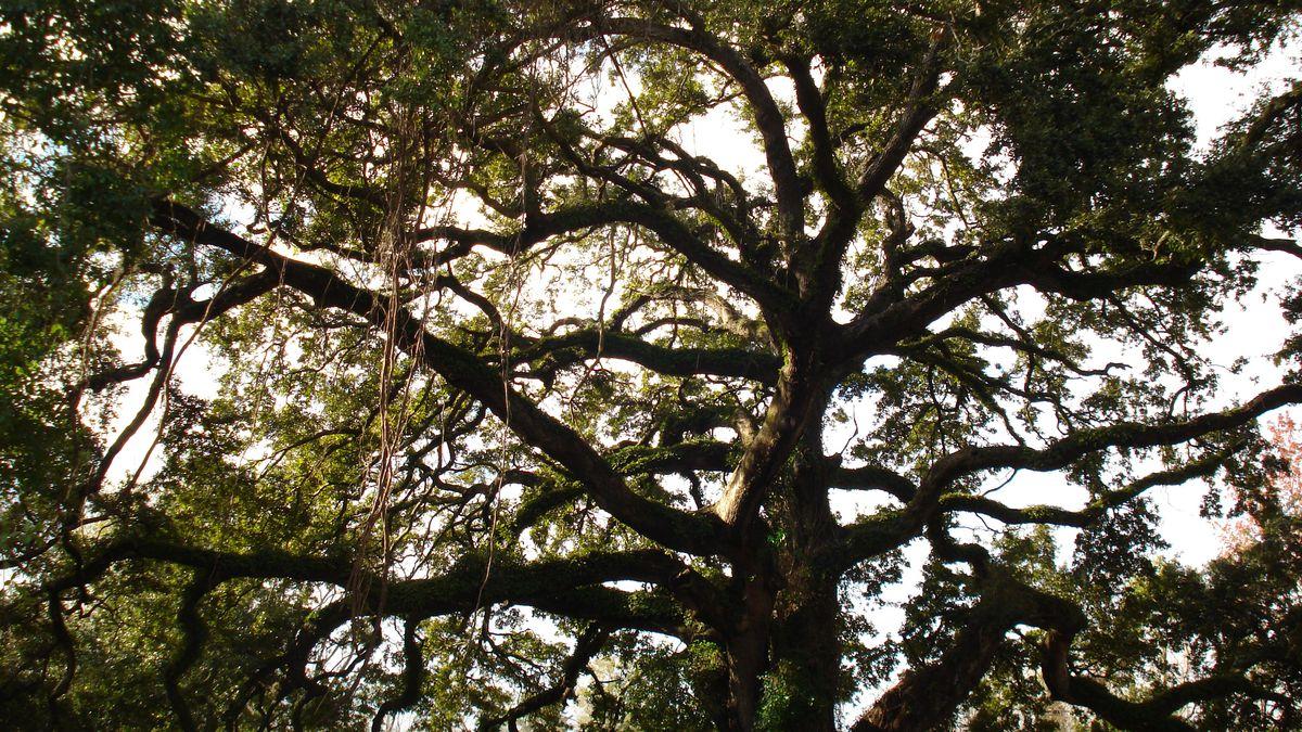 Heart of Louisiana: Live oak arboretum