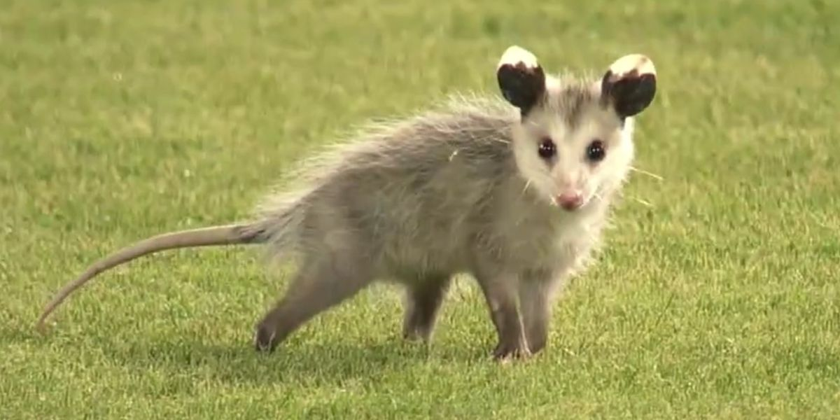 3 years ago today, the legend of the Rally Possum was born