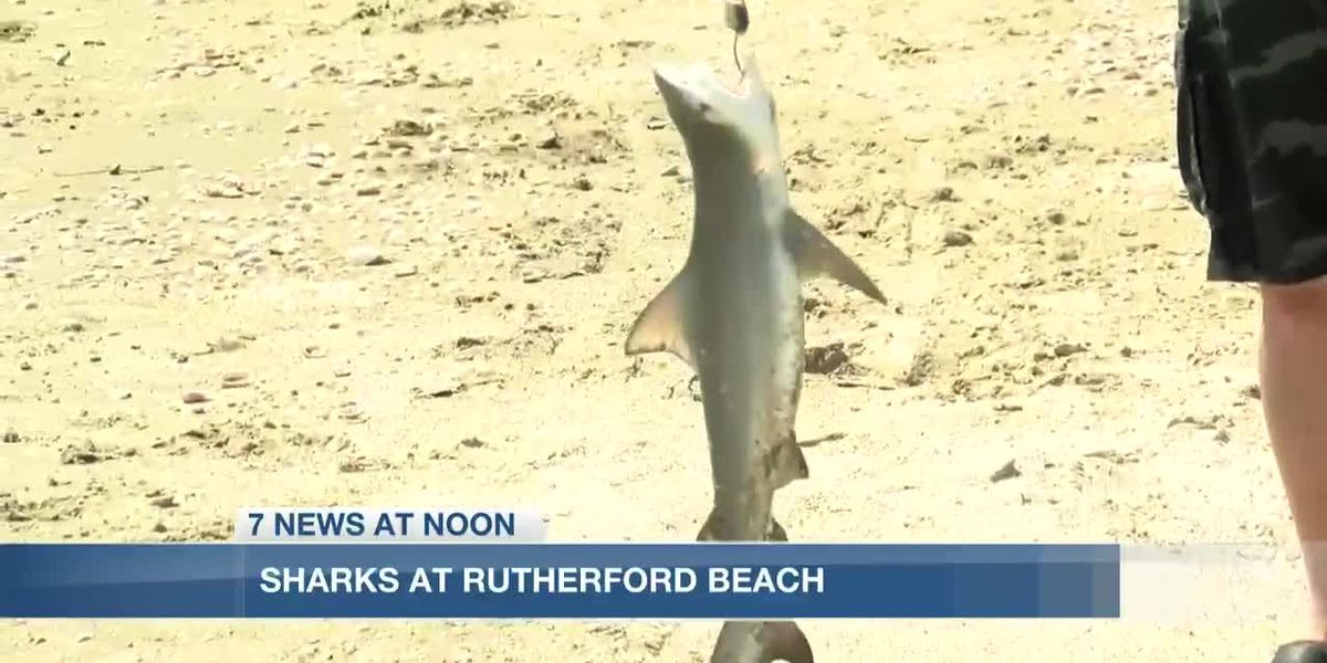 SHARK WEEK: Not uncommon to land a shark at Rutherford Beach