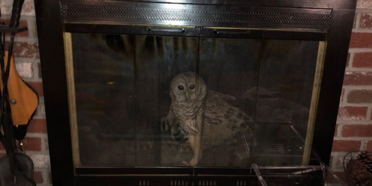 Barred owl found trapped in Massachusetts fireplace