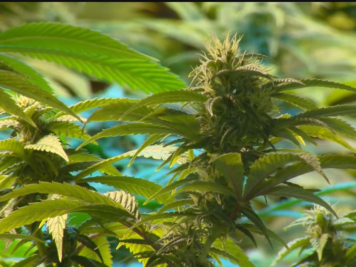 LSU AgCenter responds after accusations they violated medical marijuana law