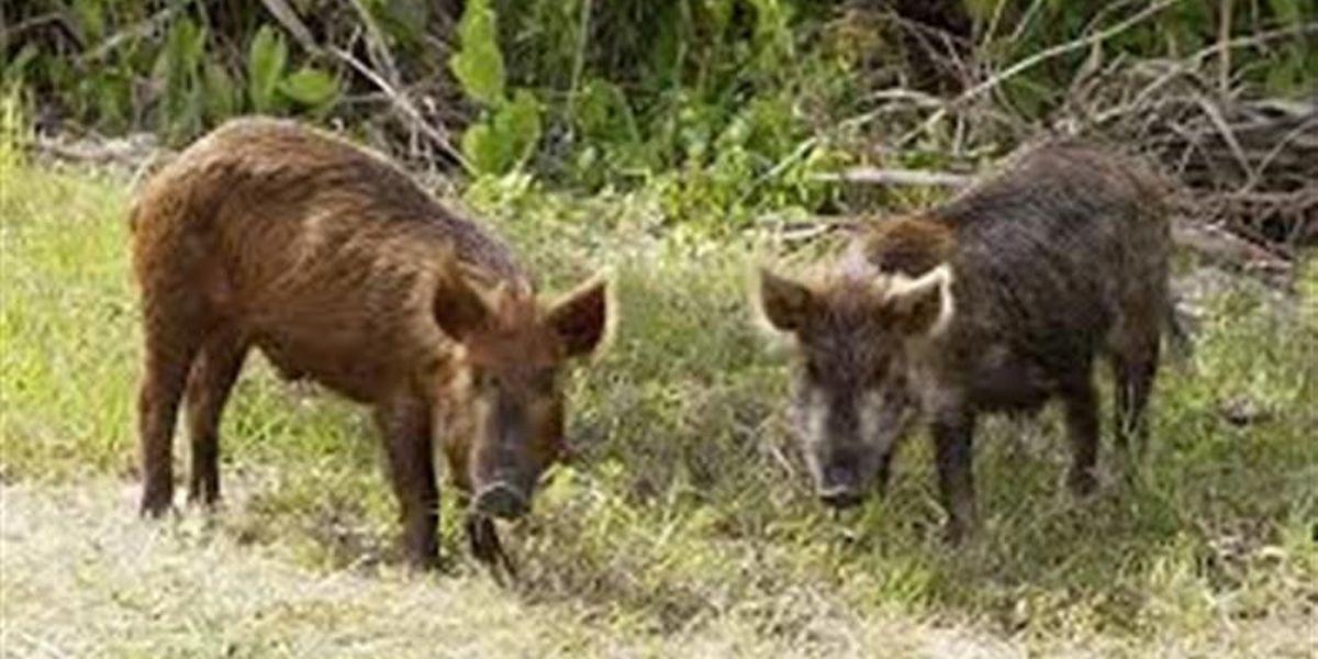 Hogs running wild