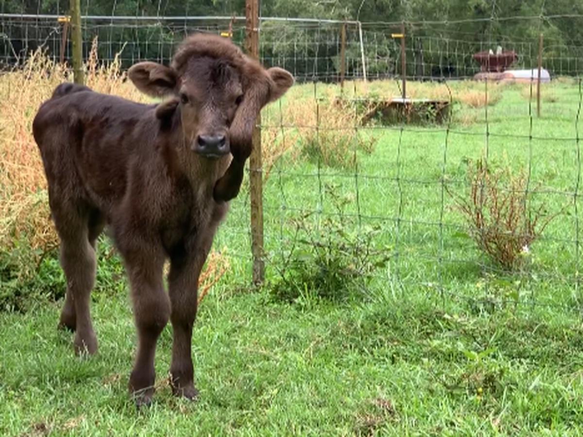 Unique calf born with 5 legs finds home in SWLA
