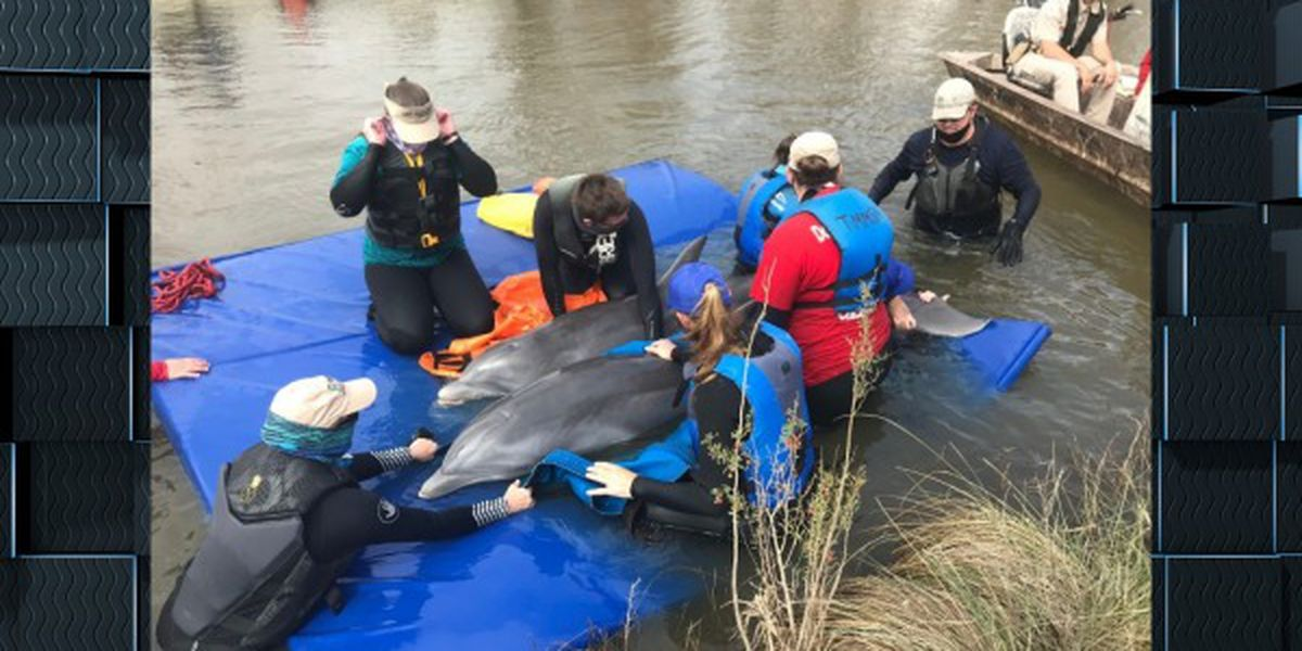 Dolphins rescued after being trapped near Grand Chenier