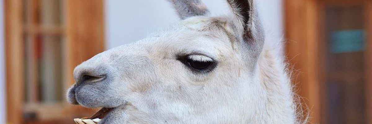 6 llamas killed in attack near Louisville Zoo