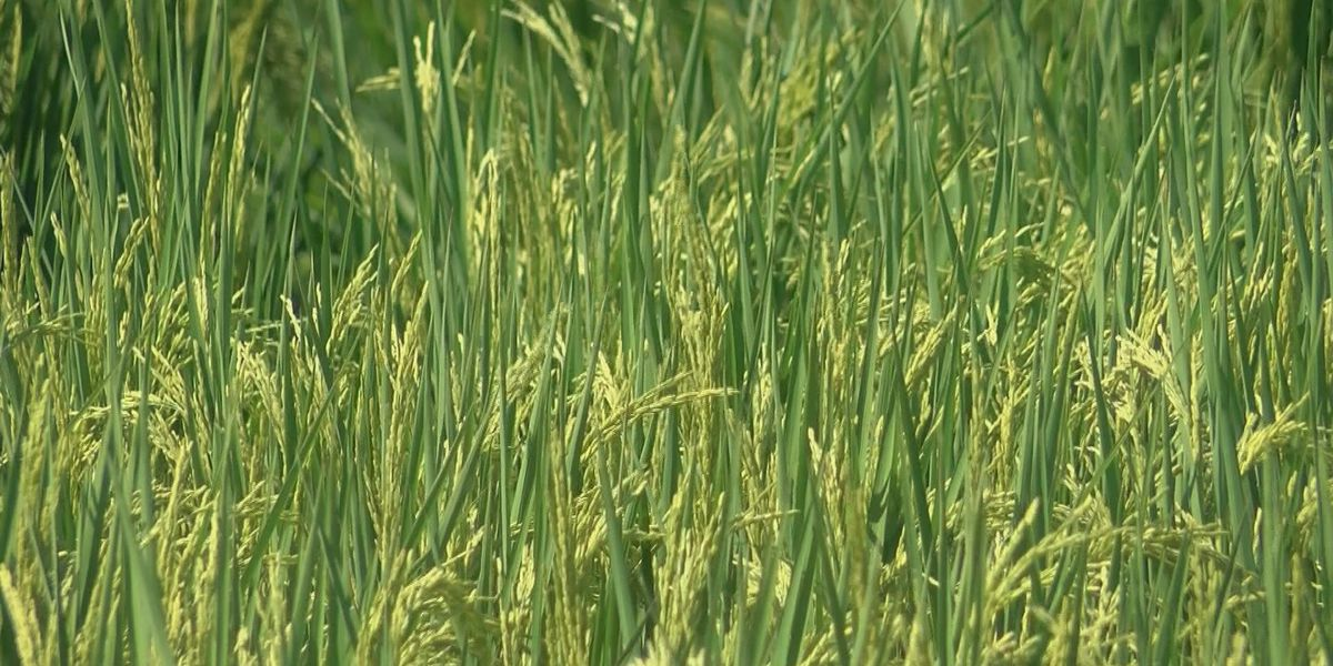 Experts predict rice industry to improve in 2017