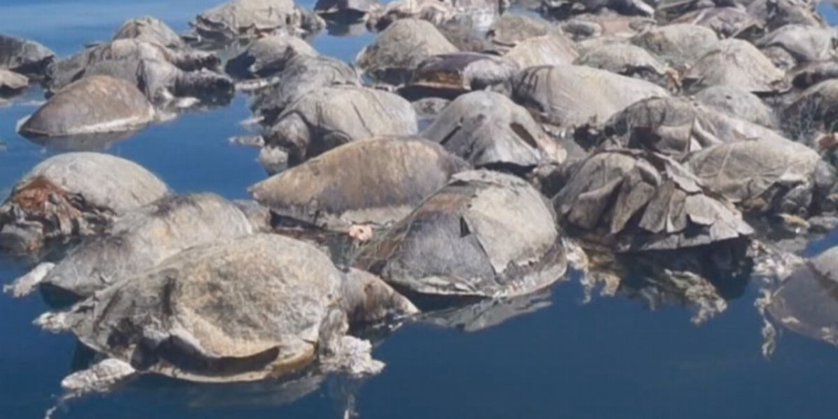 Hundreds of endangered sea turtles found dead off coast of Mexico