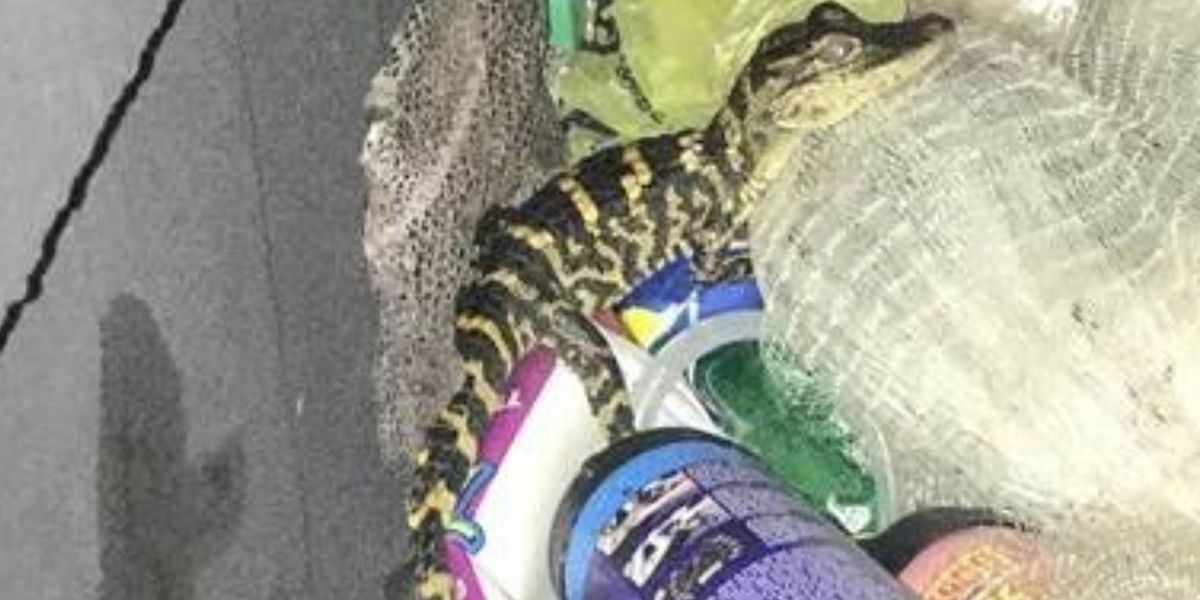 Florida woman pulls alligator out of pants during traffic stop, deputies say