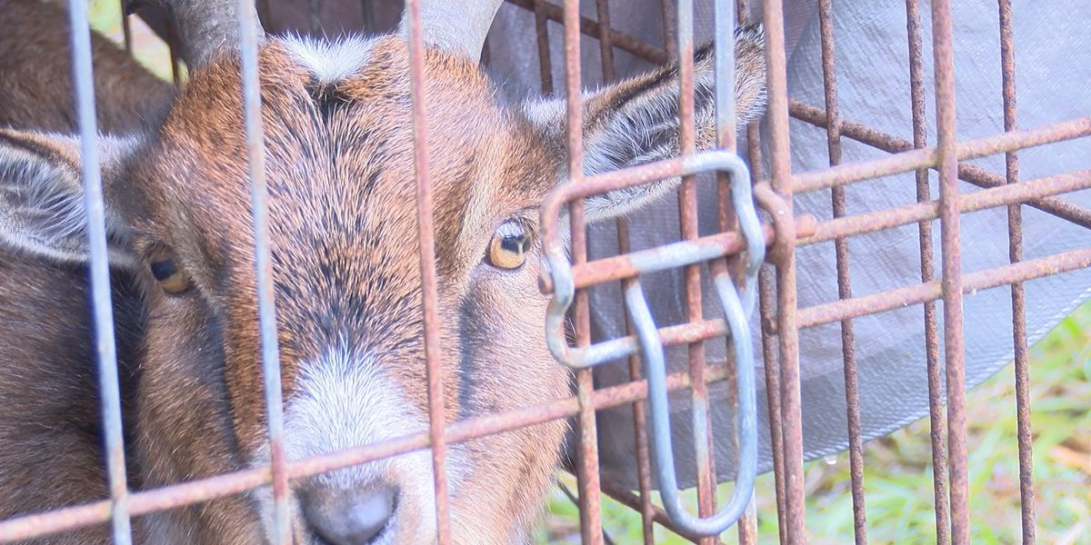 Ragley woman accused of shooting neighbor's goat speaks out