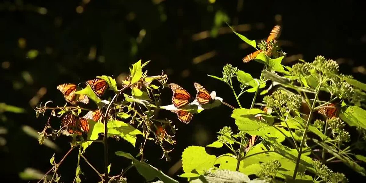 Monarch butterflies down 26% in Mexico wintering grounds (Spanish)