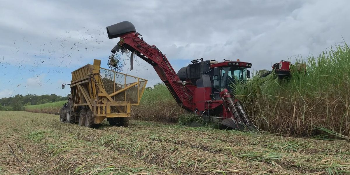 Some sugar cane farmers concerned after early freeze brought down harvest