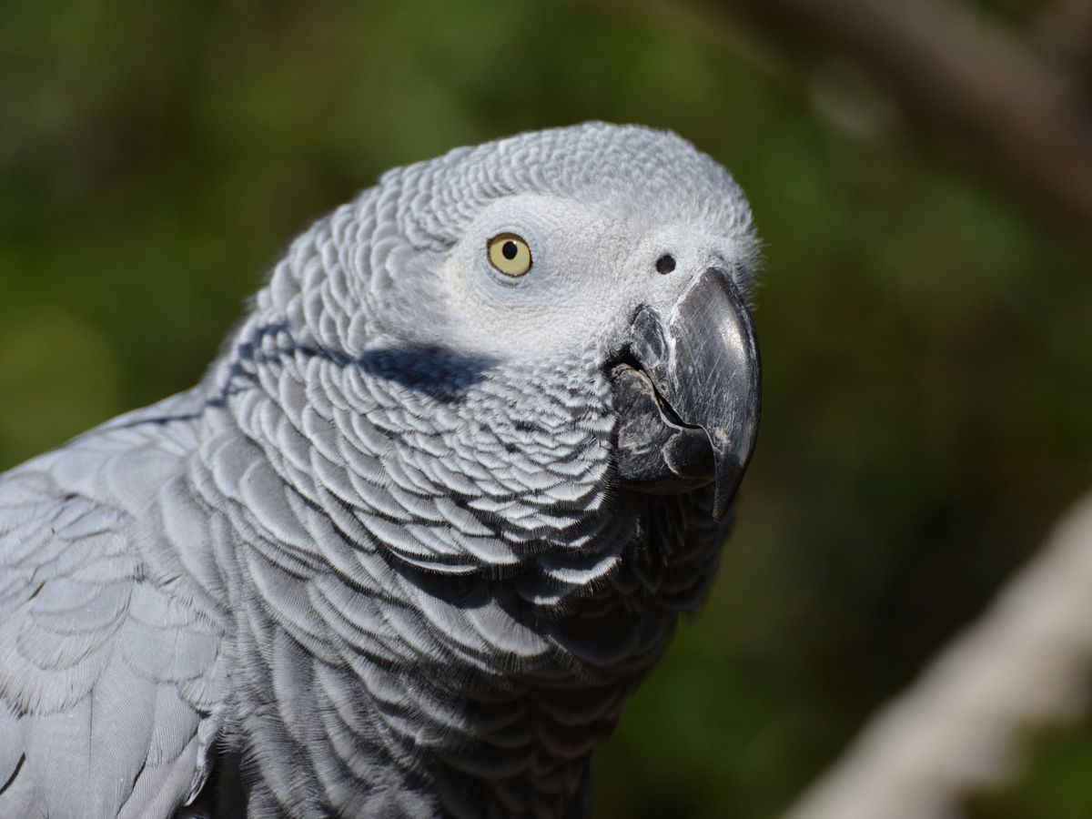 Parrot uses Alexa to order items, play music while owner is away