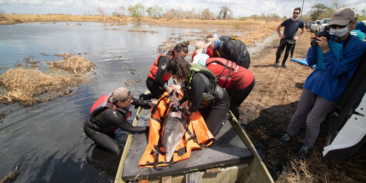 VIDEO: Audubon Coastal Wildlife Network rescues stranded dolphin in Cameron Parish