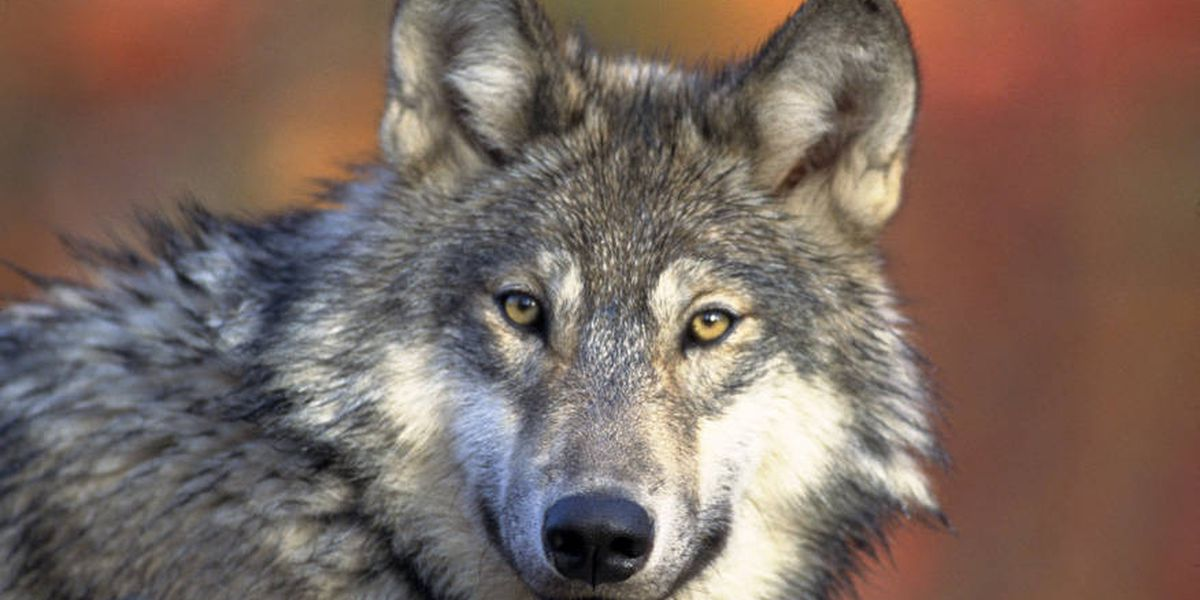 Louisiana couple cited for possessing wolf after animal reportedly walked in front of elementary school