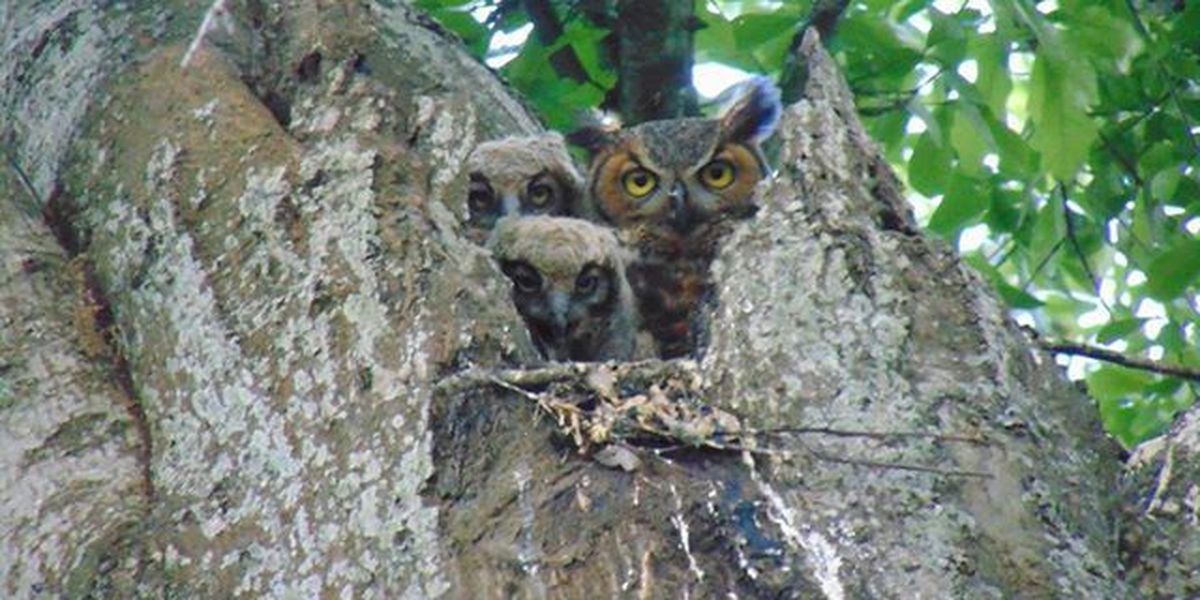 Viewer Photos: Great horned owls in Lake Charles