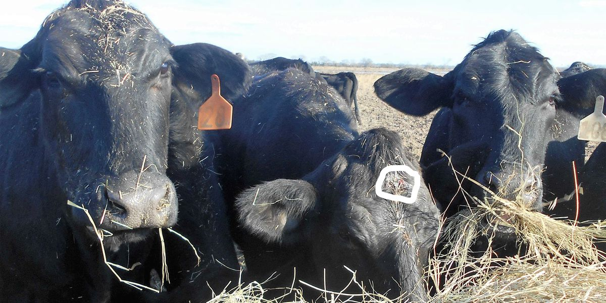 Reward increased for information on Jeff Davis Parish cow shooting