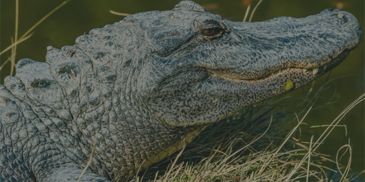 Here's when and where to get your Gator hunting license