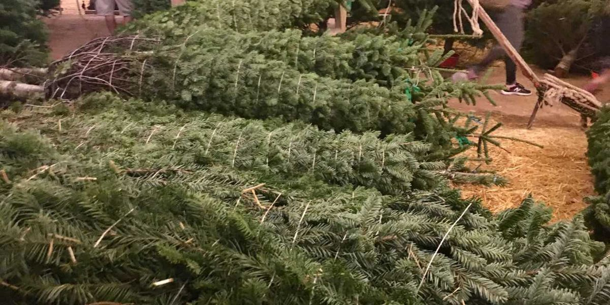 Bugs In Christmas Trees.Your Live Christmas Tree Could Bring In Bugs
