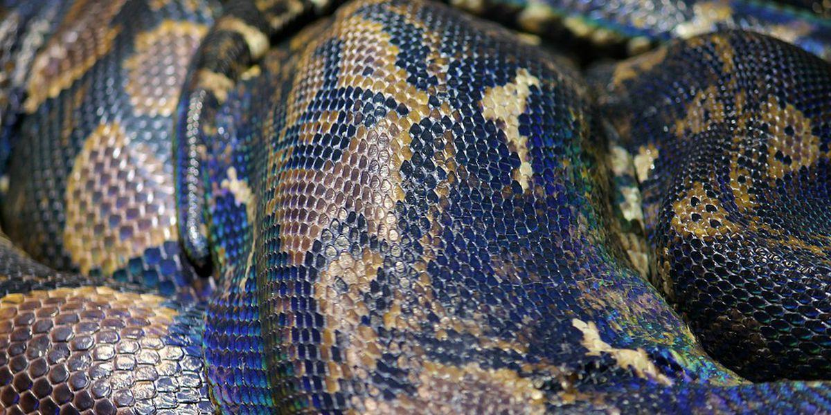 Police find python, pitbulls guarding 5 lbs of marijuana