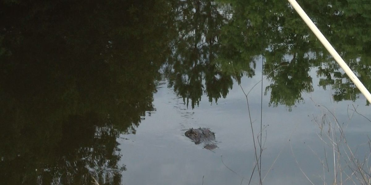 LDWF explains alligator removal after family finds one on property